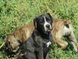 Собаки, щенки Кане Корсо, цена 3500 Грн., Фото