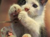 Кішки, кошенята Безпорідна, ціна 0.25 Грн., Фото