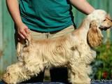 Собаки, щенята Американський коккер, ціна 5000 Грн., Фото