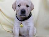 Собаки, щенята Лабрадор ретрівер, ціна 4500 Грн., Фото