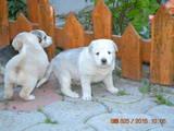 Собаки, щенята Південноросійська вівчарка, ціна 500 Грн., Фото