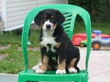 Собаки, щенки Большой Швейцарский зенненхунд, цена 22000 Грн., Фото