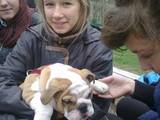 Собаки, щенята Англійський бульдог, ціна 9400 Грн., Фото