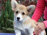 Собаки, щенки Вельш корги пемброк, цена 19000 Грн., Фото