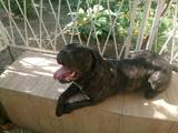 Собаки, щенята Кане Корсо, ціна 9 Грн., Фото