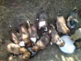 Собаки, щенки Среднеазиатская овчарка, цена 700 Грн., Фото