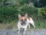 Собаки, щенки Французский бульдог, цена 3300 Грн., Фото