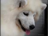 Собаки, щенята Самоїдом, ціна 10000 Грн., Фото