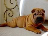 Собаки, щенята Шарпей, ціна 11000 Грн., Фото