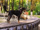 Собаки, щенята Російський довгошерстий тойтерьер, ціна 3000 Грн., Фото