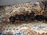 Собаки, щенки Разное, цена 900 Грн., Фото