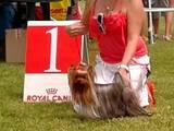 Собаки, щенята Йоркширський тер'єр, ціна 120 Грн., Фото