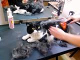 Кішки, кошенята Шотландська висловуха, ціна 120 Грн., Фото