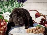 Собаки, щенята Південноафриканський Бурбуль, ціна 20000 Грн., Фото
