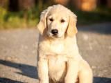 Собаки, щенки Золотистый ретривер, цена 2500 Грн., Фото