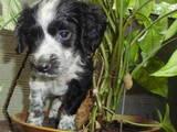 Собаки, щенята Російський спаніель, ціна 600 Грн., Фото