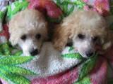 Собаки, щенята Малий пудель, ціна 1500 Грн., Фото