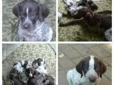 Собаки, щенки Немецкая гладкошерстная легавая, цена 1500 Грн., Фото
