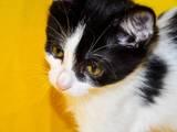 Кішки, кошенята Безпорідна, ціна 10 Грн., Фото