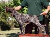 Собаки, щенята Німецька гладкошерста лягава, ціна 11000 Грн., Фото