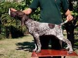 Собаки, щенки Немецкая гладкошерстная легавая, цена 11000 Грн., Фото