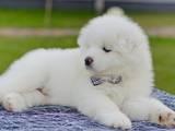 Собаки, щенята Самоїдом, ціна 14000 Грн., Фото