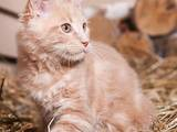 Кішки, кошенята Мейн-кун, ціна 8000 Грн., Фото