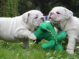 Собаки, щенята Англійський бульдог, ціна 2000 Грн., Фото