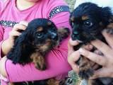 Собаки, щенки Кавалер-Кинг-Чарльз спаниель, цена 15000 Грн., Фото