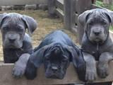 Собаки, щенки Кане Корсо, цена 12000 Грн., Фото