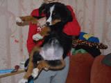 Собаки, щенята Гірський собака Берна, Фото