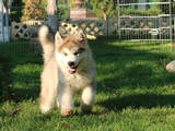 Собаки, щенки Аляскинский маламут, цена 17000 Грн., Фото