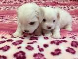 Собаки, щенки Мальтийская болонка, цена 4000 Грн., Фото