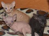 Кішки, кошенята Донський сфінкс, ціна 1500 Грн., Фото
