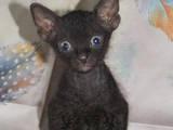 Кошки, котята Донской сфинкс, цена 1500 Грн., Фото