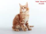 Кішки, кошенята Мейн-кун, ціна 13000 Грн., Фото