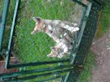 Собаки, щенки Русско-Европейская лайка, цена 500 Грн., Фото