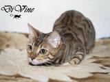 Кішки, кошенята Бенгальськая, ціна 5000 Грн., Фото