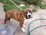 Собаки, щенки Стаффордширский бультерьер, цена 2000 Грн., Фото
