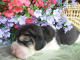 Собаки, щенки Бигль, цена 7500 Грн., Фото
