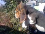 Собаки, щенки Бигль, цена 5500 Грн., Фото
