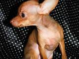 Собаки, щенки Русский гладкошерстный тойтерьер, цена 14000 Грн., Фото