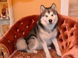 Собаки, щенята Аляска маламут, ціна 100 Грн., Фото