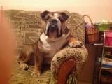 Собаки, щенята Англійський бульдог, ціна 7700 Грн., Фото