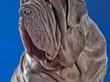 Собаки, щенки Мастино неаполетано, цена 2000 Грн., Фото