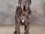 Собаки, щенята Мастіно неаполетано, ціна 2000 Грн., Фото
