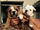 Собаки, щенята Англійський бульдог, ціна 3000 Грн., Фото