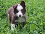Собаки, щенки Бордерколли, цена 3000 Грн., Фото