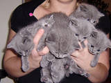 Кішки, кошенята Британська короткошерста, ціна 3000 Грн., Фото