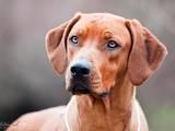 Собаки, щенки Родезийский риджбек, цена 15000 Грн., Фото